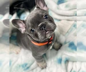 French Bulldog Puppy for Sale in LILBURN, Georgia USA