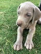 Weimaraner Puppy For Sale in WHITEWRIGHT, TX, USA