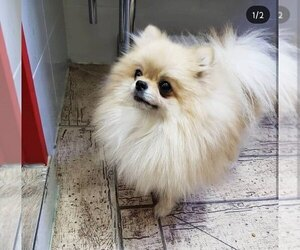Mother of the Pomeranian puppies born on 12/31/1969