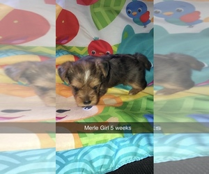 Yorkshire Terrier Puppy for Sale in BUFFALO, New York USA