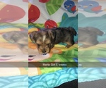 Yorkshire Terrier Puppy For Sale in BUFFALO, NY, USA