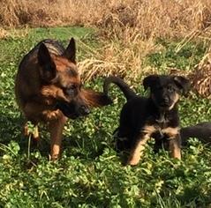German Shepherd Dog Puppy For Sale in JUANITA, WA, USA