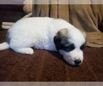 Small #797 Anatolian Shepherd-Maremma Sheepdog Mix