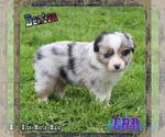 Puppy 6 Miniature Australian Shepherd