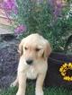 Golden Retriever Puppy For Sale in FARMVILLE, VA, USA