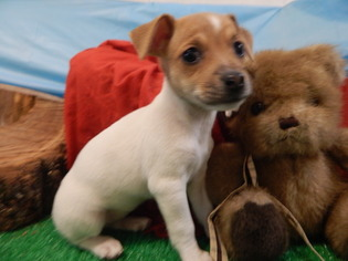 Terrier mix breeds for sale