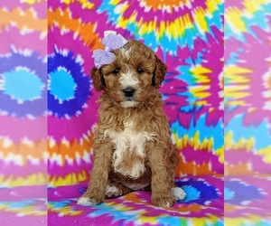 Goldendoodle Dog for Adoption in LEOLA, Pennsylvania USA