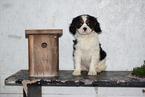 Cavalier King Charles Spaniel Puppy For Sale in FREDERICKSBURG, Ohio,