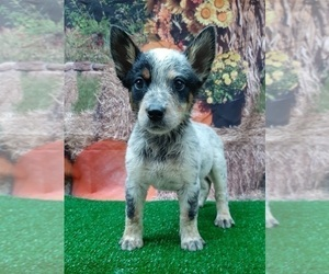 Australian Cattle Dog Dog for Adoption in CARTHAGE, Texas USA