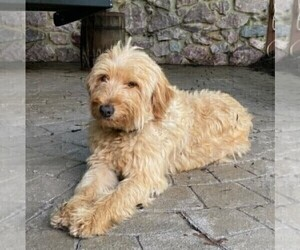 Mother of the Goldendoodle-Poodle (Miniature) Mix puppies born on 10/22/2020