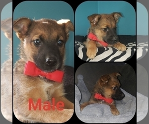 Australian Shepherd Puppy for sale in GILBOA, OH, USA