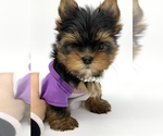 Small #12 Yorkshire Terrier