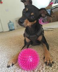 Miniature Pinscher Dog For Adoption in CHANDLER, AZ, USA