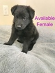 German Shepherd Dog Puppy For Sale in SYRACUSE, UT, USA