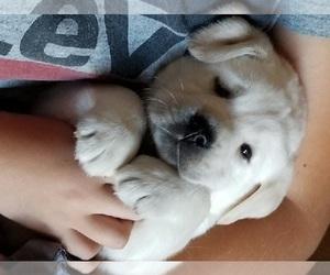 Labrador Retriever Puppy for sale in MEDFORD, OR, USA
