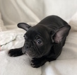 Small #16 French Bulldog