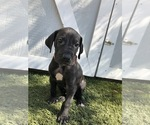 Puppy 7 Great Dane