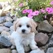 Cavachon Puppy For Sale in NAVARRE, OH, USA