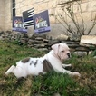 Olde English Bulldogge Puppy For Sale in LIBERTY HILL, TX, USA