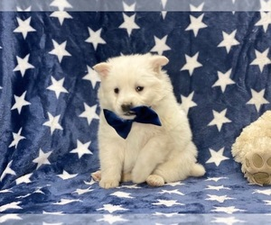 American Eskimo Dog Puppy for sale in LANCASTER, PA, USA