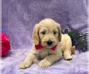 Goldendoodle Dog for Adoption in LANCASTER, Pennsylvania USA