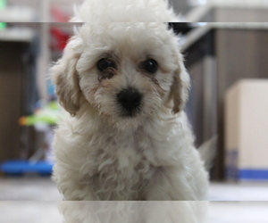 Poochon Puppy for Sale in SPENCER, Tennessee USA