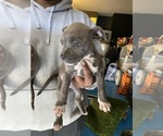 Small #1 American Bully