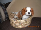 Cavalier King Charles Spaniel Puppy For Sale in MARSHALL, WI, USA