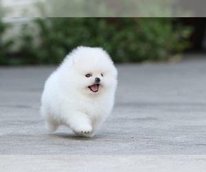 Pomeranian Puppy for sale in JERSEY CITY, NJ, USA