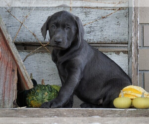 Full screen Photo #1 Labrador Retriever Puppy For Sale in FREDERICKSBG, OH, USA