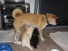 Shiba Inu Puppy For Sale in MISSOULA, MT