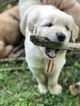 Golden Retriever Puppy For Sale in VESTAL, NY, USA