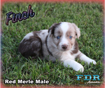 Finch Toy or Small Mini Red Merle Male Aussie