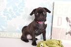 Puggle Puppy For Sale in NAPLES, Florida,