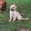 Golden Retriever Puppy For Sale in SYRIA, VA