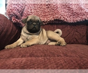 Pug Puppy for sale in DAYTON, VA, USA