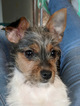 7 Month Old Female Chorkie