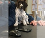 Small #15 German Wirehaired Pointer