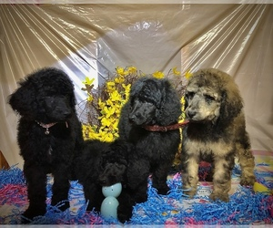 Poodle (Standard) Puppy for sale in ELKHART, TX, USA
