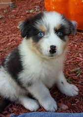 Australian Shepherd Dog For Adoption in RICHMOND, MI