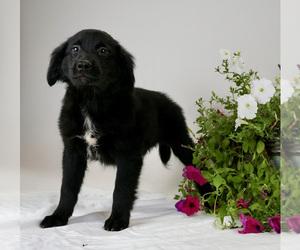 Australian Retriever Puppy for Sale in BRISTOL, Indiana USA