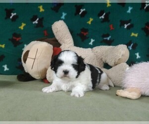 Shih Tzu Puppy for Sale in WINSTON SALEM, North Carolina USA