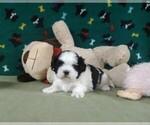Shih Tzu Puppy For Sale in WINSTON SALEM, NC, USA