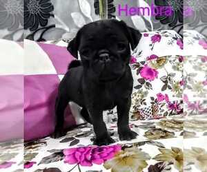 Pug Puppy for sale in TULARE, CA, USA