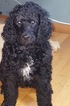 Male standard poodle for sale