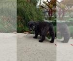Small #5 Black Mouth Cur-Labrador Retriever Mix