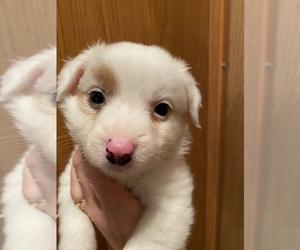 Australian Shepherd-Border-Aussie Mix Puppy for Sale in FRANKLIN, North Carolina USA