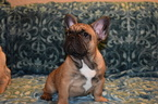 French Bulldog Puppy For Sale in SACRAMENTO, CA