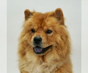 Mother of the Chow Chow puppies born on 10/04/2020