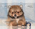 Small #16 Pomeranian